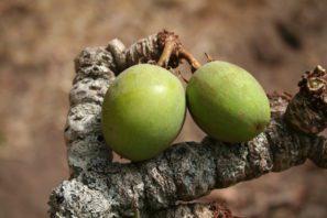 Plody stromu karité