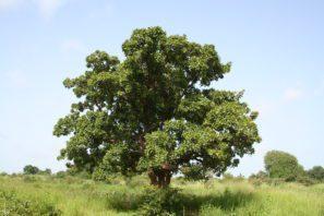 Strom karité - Vitellaria paradoxa