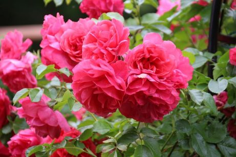 ruža damascénska